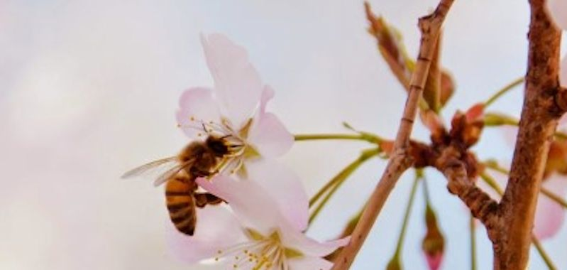 Global importance of pollinators underestimated