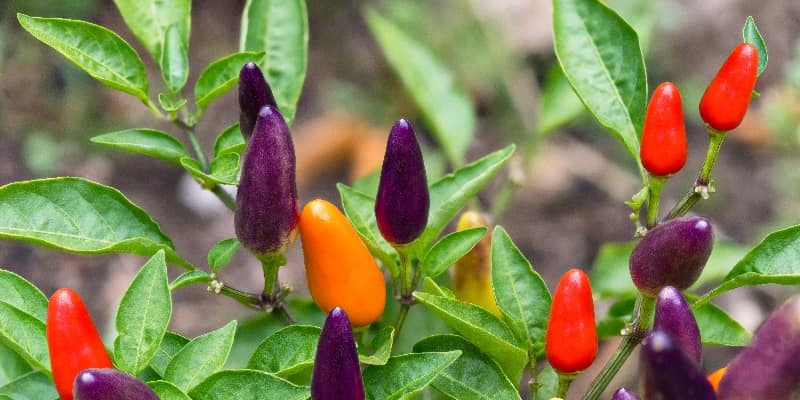 Hot chilli pepper plant