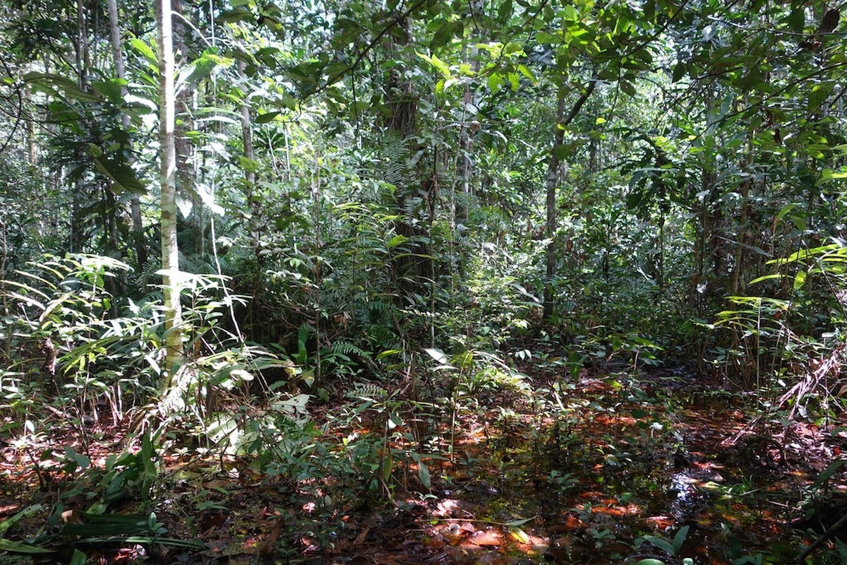 Researchers discover world's largest tropical peatland in remote Congo swamps