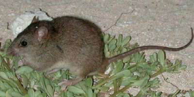 Image of a bramble cay melomys rat