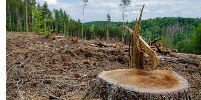 An image of deforestation, cut down tree trunks cover the ground.